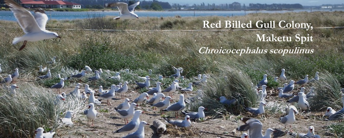 Red Billed Gull Colony