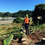 Removal of Norfolk pine on Dotterel Point