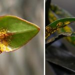 Myrtle Rust found in Bay of Plenty